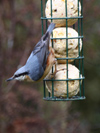 Nuthatch - Parrish's Farm Fat Balls  www.parrishsfarm.co.uk