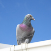 Racing pigeon from Dudley, currently residing at Parrish's Farm